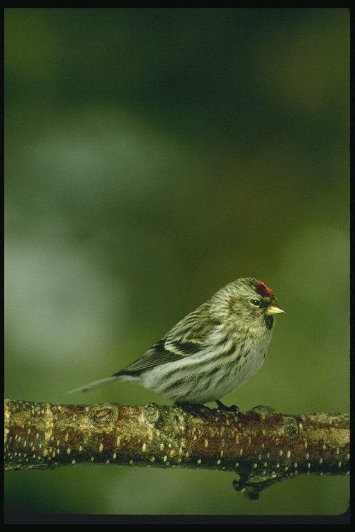 Фотография также находится в каталоге: птицы с хохолком фото и фото.