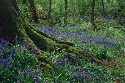 Перші весняні квіти-підсніжники > Поверхи лісу > Листя і дерева ...